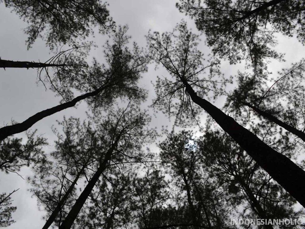 Hutan Pinus di Maros